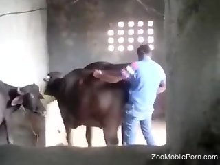 Horny guy ass fucks the bull during a kinky zoo tryout