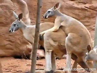 Kangaroos fucking makes horny visitor to crave for dick