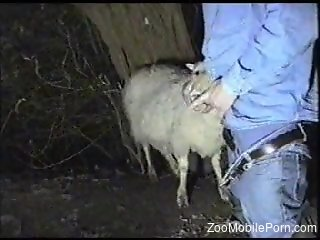 Sheep licks man's erect cock before being fucked in the ass