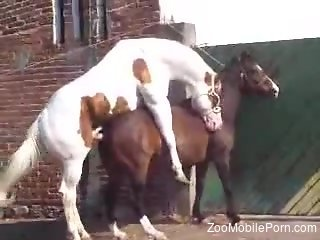 Stallion fucks its female and the horny dude tapes it