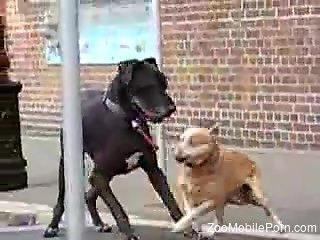 Two dogs are about to enjoy impassioned sex outdoors